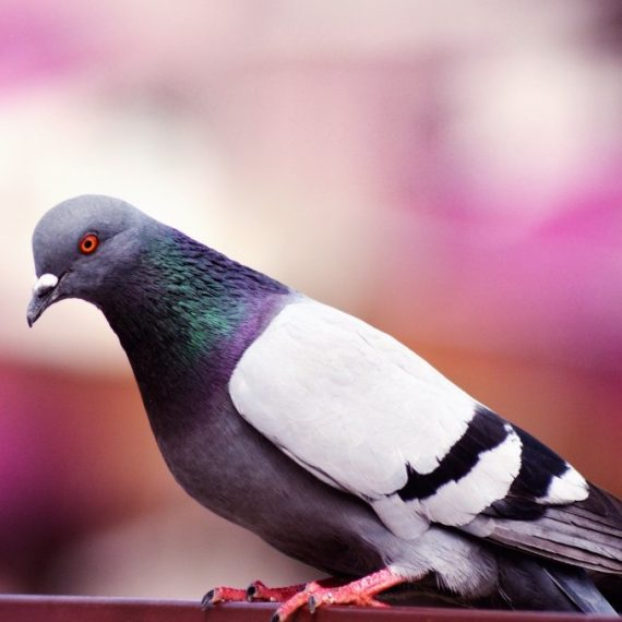 Birds, Pest Control in Twickenham, St. Margarets, TW1, TW2. Call Now! 020 8166 9746