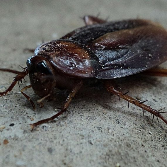Cockroaches, Pest Control in Twickenham, St. Margarets, TW1, TW2. Call Now! 020 8166 9746