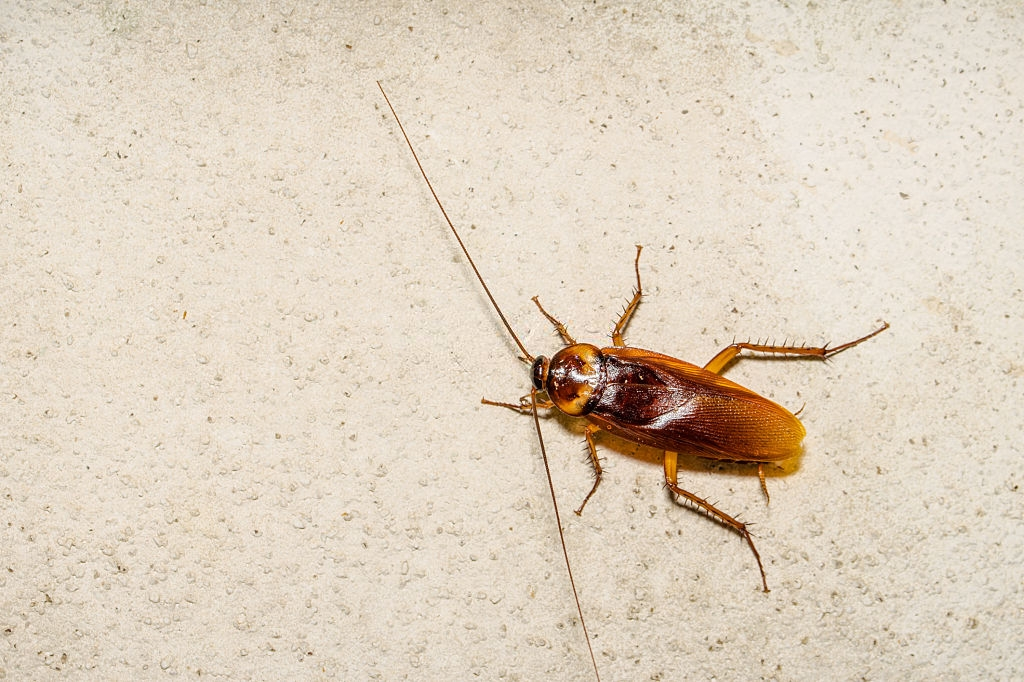 Cockroach Control, Pest Control in Twickenham, St. Margarets, TW1, TW2. Call Now 020 8166 9746