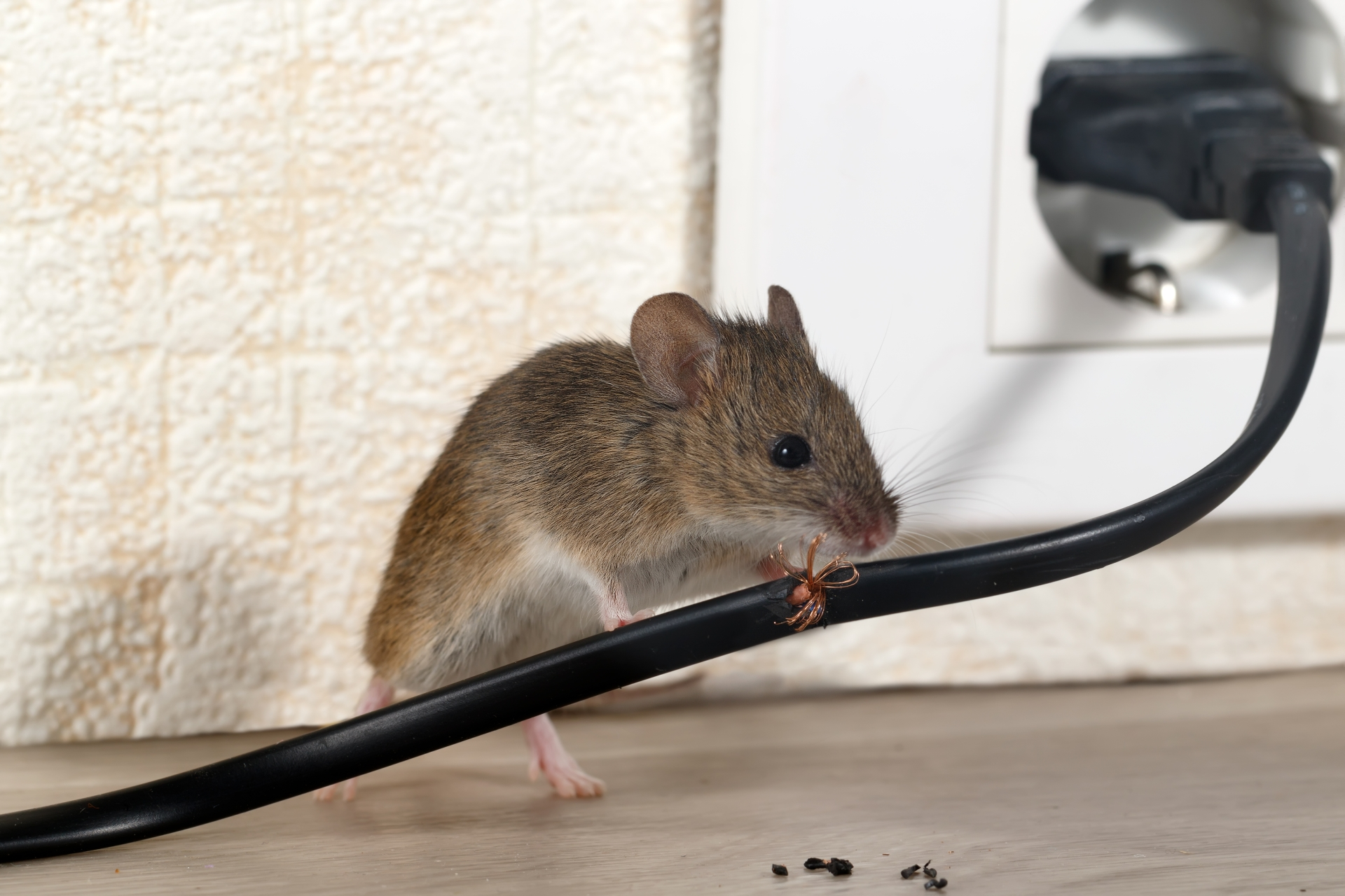 Mice Infestation, Pest Control in Twickenham, St. Margarets, TW1, TW2. Call Now 020 8166 9746