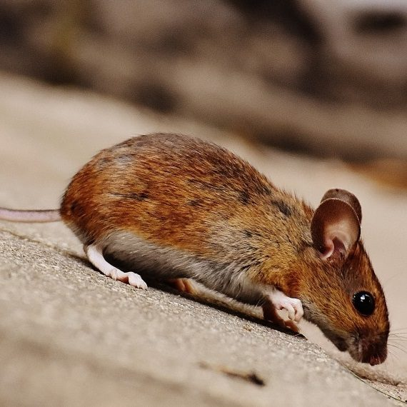 Mice, Pest Control in Twickenham, St. Margarets, TW1, TW2. Call Now! 020 8166 9746