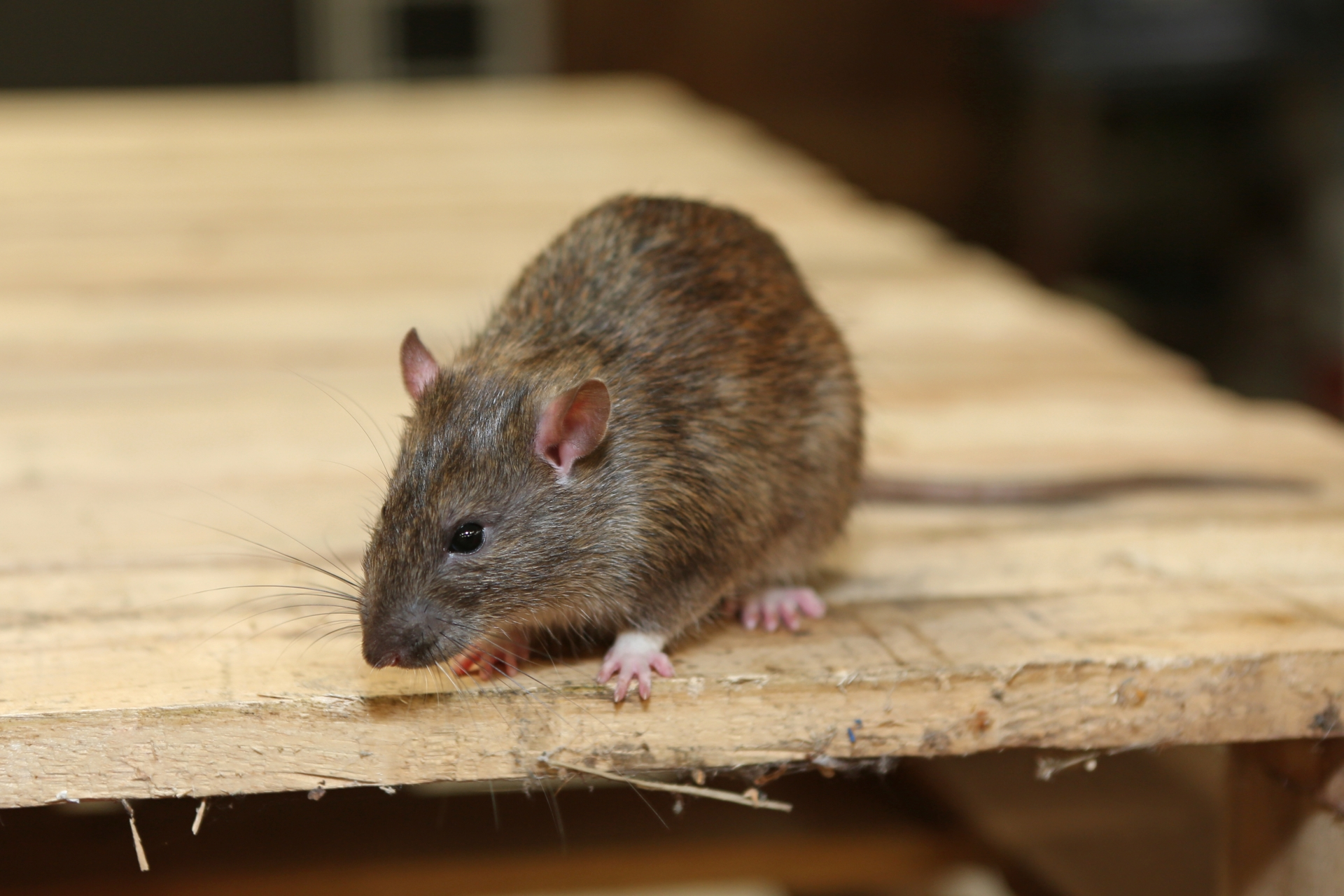 Rat Control, Pest Control in Twickenham, St. Margarets, TW1, TW2. Call Now 020 8166 9746