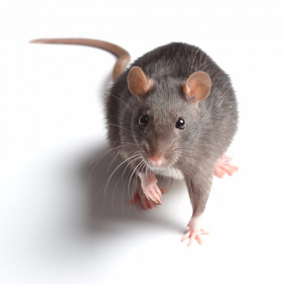 Rats, Pest Control in Twickenham, St. Margarets, TW1, TW2. Call Now! 020 8166 9746