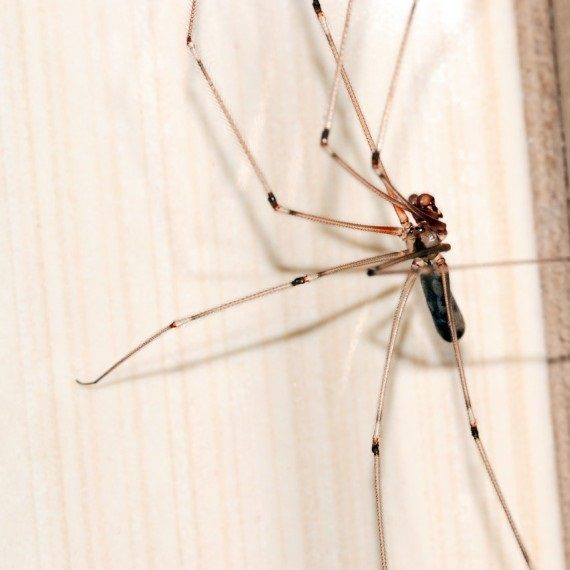 Spiders, Pest Control in Twickenham, St. Margarets, TW1, TW2. Call Now! 020 8166 9746